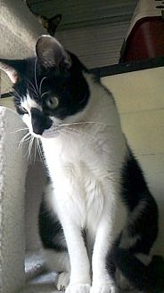 Domestic Shorthair Cat for adoption in Woodside, New York - Riley