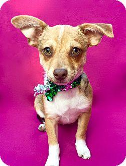 Italian Greyhound/Corgi Mix Puppy for adoption in Irvine, California - Nebula