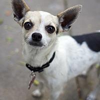 Adopt A Pet :: Goldie - Los Angeles, CA
