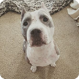 American Pit Bull Terrier Mix Dog for adoption in Hawthorne, California - Daisy