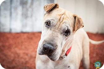 Shar Pei Mix Dog for adoption in Windsor, California - Shanendoah