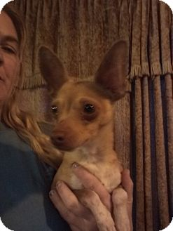 Chihuahua Mix Dog for adoption in springtown, Texas - Pocko