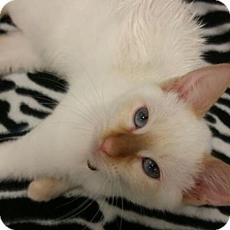 Siamese Cat for adoption in St. Louis, Missouri - Pluto