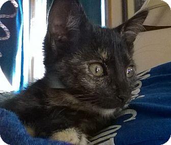 Domestic Shorthair Kitten for adoption in Wamego, Kansas - Sabrina