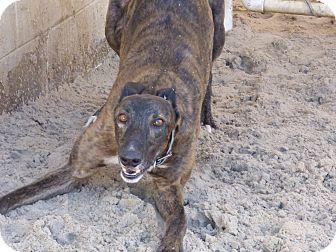 Greyhound Dog for adoption in Aurora, Ohio - Elmo