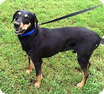 Rottweiler Dog for adoption in Arlington, Tennessee - Harper
