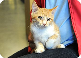 Domestic Shorthair Kitten for adoption in Houston, Texas - Annie