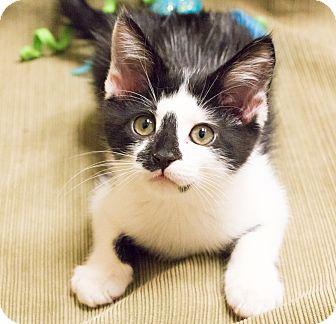 Domestic Shorthair Kitten for adoption in Chicago, Illinois - Scribbles