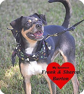 Chihuahua/Miniature Pinscher Mix Dog for adoption in San Leon, Texas - Sammie