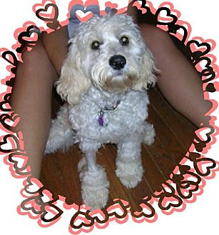 Cockapoo Dog for adoption in Winfield, Pennsylvania - Mollie