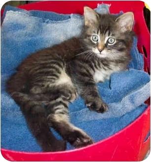 Domestic Longhair Kitten for adoption in Brighton, Michigan - Hershey