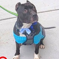 American Staffordshire Terrier Mix Dog for adoption in Tinton Falls, New Jersey - TYSON 2