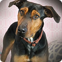 Doberman Pinscher Mix Dog for adoption in Los Angeles, California - DENVER (video)