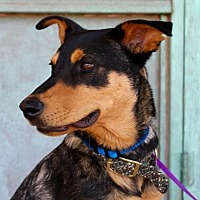 Shepherd (Unknown Type) Mix Dog for adoption in Albuquerque, New Mexico - Tucker