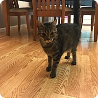 Domestic Shorthair Cat for adoption in Gainesville, Georgia - Beau