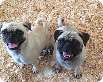 Pug Mix Puppy for adoption in Carson, California - PUG PAIR