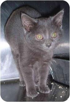 Domestic Shorthair Kitten for adoption in Honesdale, Pennsylvania - Jazzie