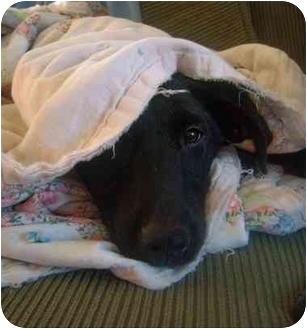 Labrador Retriever Mix Puppy for adoption in Jacksonville, North Carolina - Raven