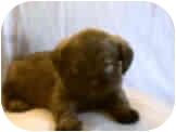 Pug/Lhasa Apso Mix Puppy for adoption in Proctorville, Ohio, Ohio - Glory