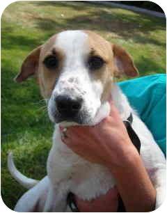 Terrier (Unknown Type, Medium)/Beagle Mix Dog for adoption in Alabaster, Alabama - CORNCHIP