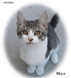 Domestic Shorthair Kitten for adoption in San Dimas, California - Goose