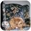 Photo 2 - Cocker Spaniel/Golden Retriever Mix Dog for adoption in Swartz Creek, Michigan - Harley