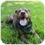Photo 3 - Dutch Shepherd/Labrador Retriever Mix Dog for adoption in Mocksville, North Carolina - Lyndsey