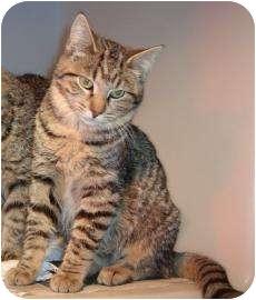 Domestic Shorthair Kitten for adoption in Larned, Kansas - Pixie