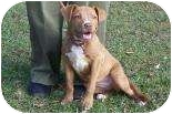 American Staffordshire Terrier Mix Puppy for adoption in Summerville, South Carolina - Ara