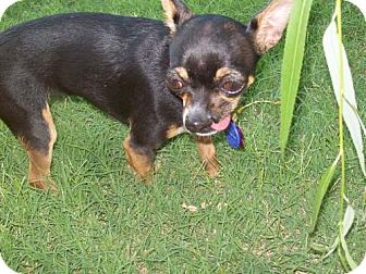 Chihuahua Dog for adoption in Edmond, Oklahoma - Faith Renee