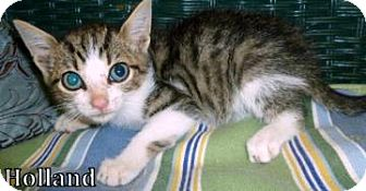 Domestic Shorthair Cat for adoption in Georgetown, South Carolina - holland