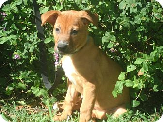 Labrador Retriever/Golden Retriever Mix Puppy for adoption in hollywood, Florida - Rosie