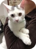 Domestic Shorthair Cat for adoption in Fairfield, Connecticut - Sammy