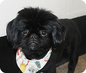 Pekingese Dog for adoption in Richmond, Virginia - Sir Jenkins