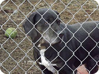 Labrador Retriever/Rottweiler Mix Dog for adoption in Clinton, Maine - Midnight