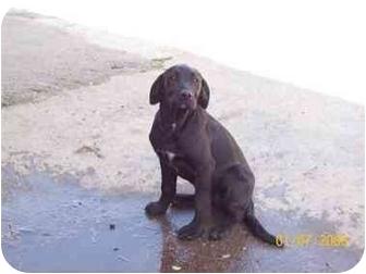 Labrador Retriever/Labrador Retriever Mix Dog for adoption in Carthage, Texas - Tuff