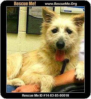Wheaten Terrier/Cairn Terrier Mix Dog for adoption in Boulder, Colorado - Seamus-ADOPTION PENDING