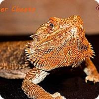 Adopt A Pet :: Chester Cheeto - Arlington, TX
