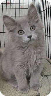Domestic Longhair Kitten for adoption in Pueblo West, Colorado - Soot