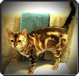 Bengal Cat for adoption in Fairborn, Ohio - Shakira