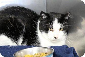 Domestic Mediumhair Cat for adoption in Medfield, Massachusetts - Noah