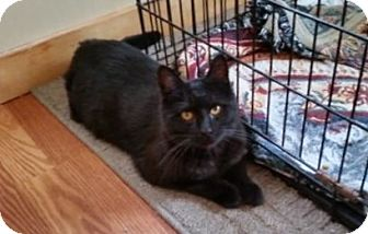 Domestic Shorthair Cat for adoption in Wilton, New York - Mason