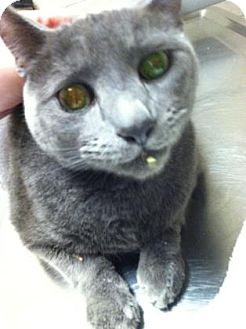 Domestic Shorthair Cat for adoption in Parma, Ohio - Bruce