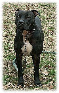 American Pit Bull Terrier Dog for adoption in Cincinnati, Ohio - Roo