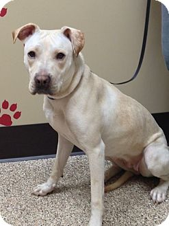 Labrador Retriever/Pit Bull Terrier Mix Dog for adoption in Laingsburg, Michigan - Abby