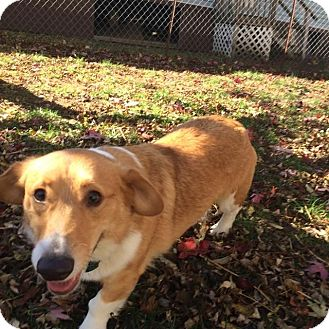 Pembroke Welsh Corgi Dog for adoption in Lisbon, Iowa - Ole