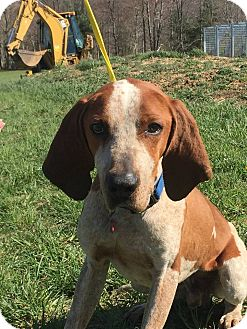Redtick Coonhound Mix Dog for adoption in Covington, Virginia - Henry