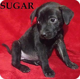 Labrador Retriever/Collie Mix Dog for adoption in Batesville, Arkansas - Sugar