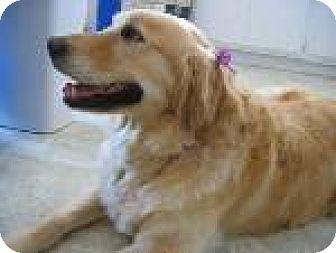 Golden Retriever Dog for adoption in Tehachapi, California - Hope