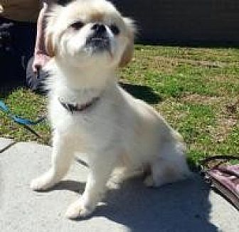 Pekingese Mix Dog for adoption in Alpharetta, Georgia - Snuggle